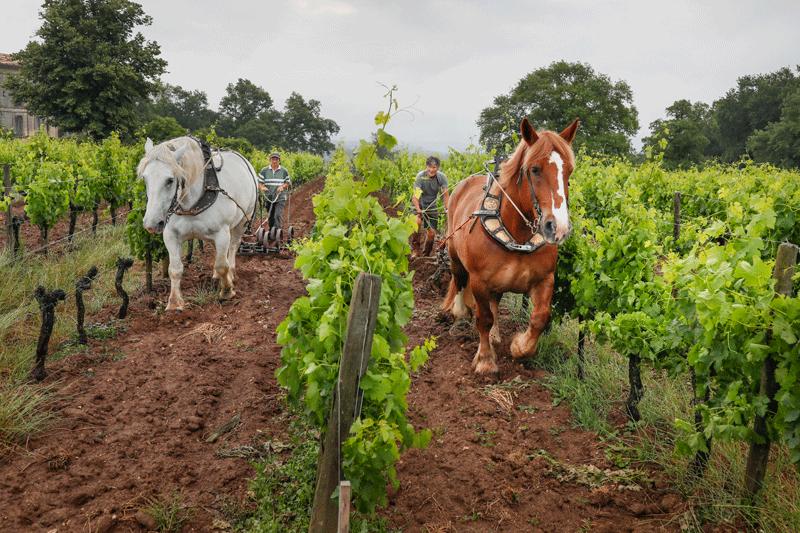 Pferde beim Pflügen auf Château Le Puy